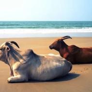 Goa_Indija_203